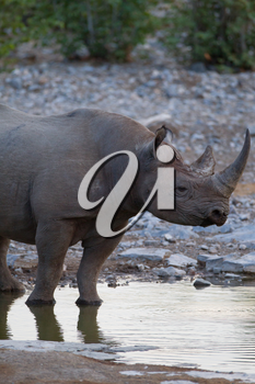 Black rhino in the wilderness of Africa