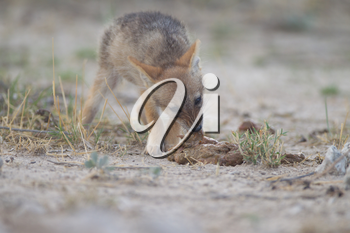 Black backed jackal puppy in the wilderness of Africa