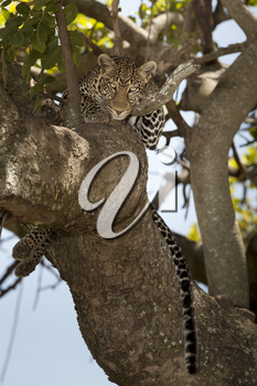 Leopard on tree in the wilderness of Africa
