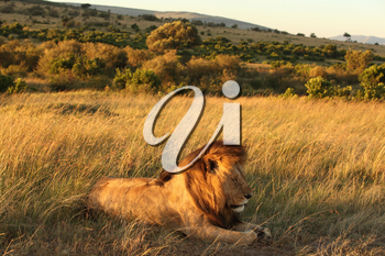 Male lion in the wilderness of Africa