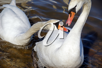Royalty Free Photo of White Swans
