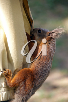 Royalty Free Photo of a Squirrel Climbing in a Pocket