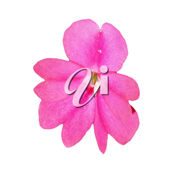 pink flower of plant impatiens (Impatiens hawkeri) aka New Guinea isolated over white background