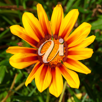Royalty Free Photo of a Yellow Gazania Flower