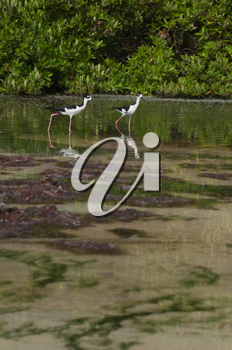 Royalty Free Photo of Two Black-Necked Stilt in Antigua, Caribbean