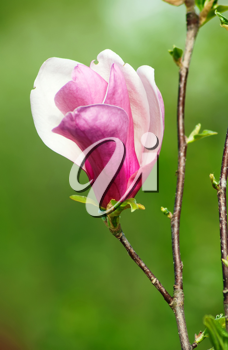 Royalty Free Photo of a Magnolia Flower