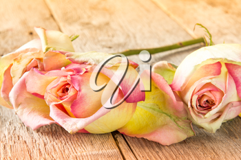 Close-up three old roses lying on the wooden background