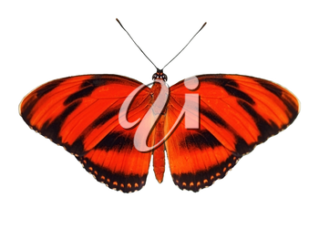 Red tropic butterfly isolated on white