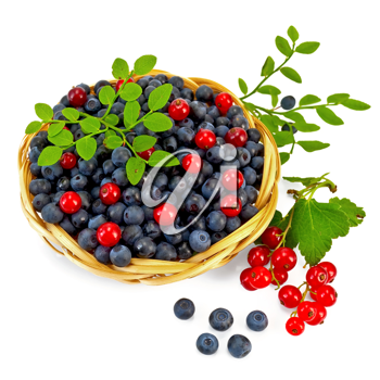 Blueberries with red currants in a wicker basket, a sprig of blueberries and red currants with green leaves isolated on white background
