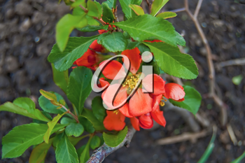 Red flowers with green leaves of a quince on the background of the brown soil