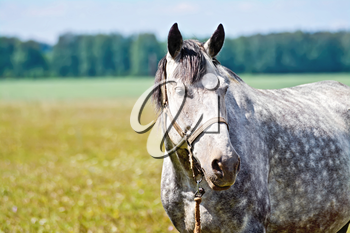 Gray horse on a background of green grass, road and trees