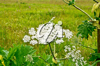 Blooming of white flowers the umbrella Heracleum Sosnowski on the background of grass