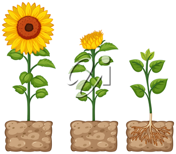 Sunflowers growing from the ground illustration