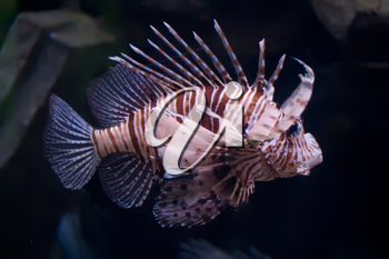Royalty Free Photo of a Lionfish