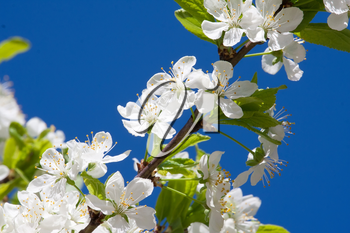 Beautiful spring blossom of apple cherry tree with white flowers