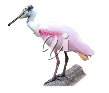 Royalty Free Photo of a Roseate Spoonbill