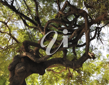 Royalty Free Photo of a Large Tropical Tree With Twisted Branches