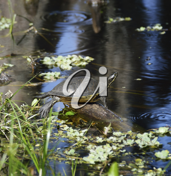 Turtle On The Lake In Florida Wetlands