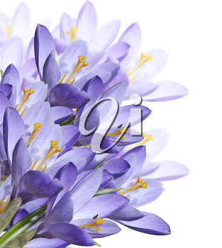 Spring Crocus Flowers Isolated On  White Background