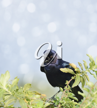 Boat-Tailed Grackle Male Perching