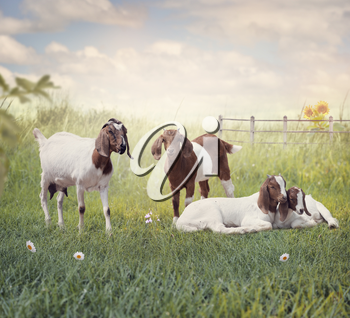 Boer goats mother and babies resting in the grassland
