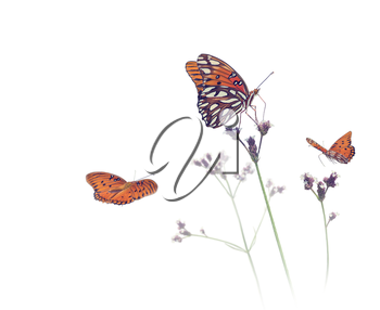 Gulf Fritillary butterflies in a meadow on white background
