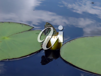 Royalty Free Photo of a Butterfly on a Lily