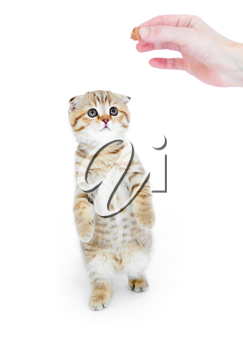 Royalty Free Photo of a Person Giving a Kitten a Treat