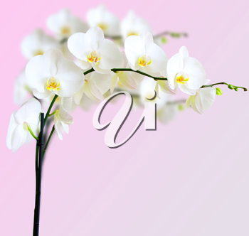 Royalty Free Photo of a White Orchid Plant