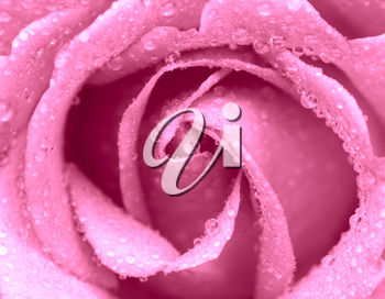 macro of rose with water drops