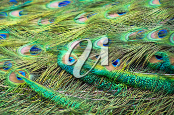 Background with patterns made of peacock feather
