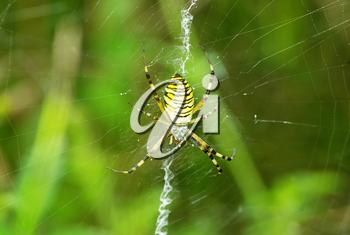 Macro of argiope spider on its web