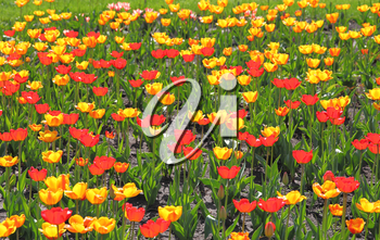 Yellow and red  tulip field