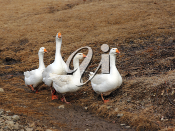 Domestic white geese on a walk through the meadow.