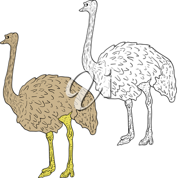 Sketch big ostrich standing on a white background. Vector illustration.