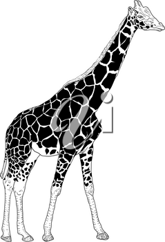 Sketch of a high African giraffe on a white background.