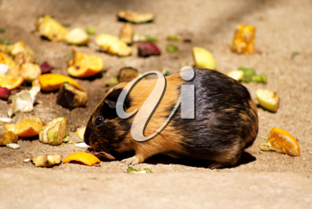Royalty Free Photo of a Guinea Pig Eating