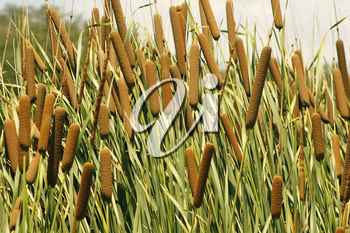 Cattails (Typha orientalis) with is Brown Sausage Like Flowers