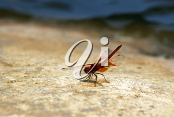 Red dragonfly sitting on a Rock next to a River