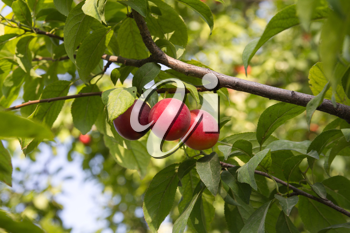 red plums on the tree
