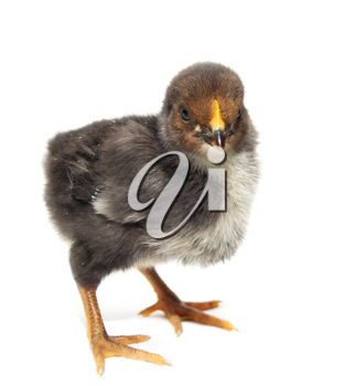 a little chicken on a white background