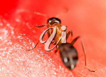 An ant on a red watermelon. macro