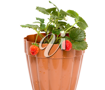 strawberry in a pot on a white background .