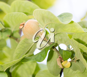 quince tree in nature