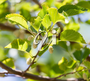 mulberry berries on branches of a tree