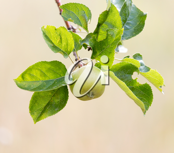 Fresh ripe green apples on tree in summer garden