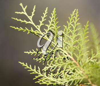 Beautiful branch of a coniferous tree in nature