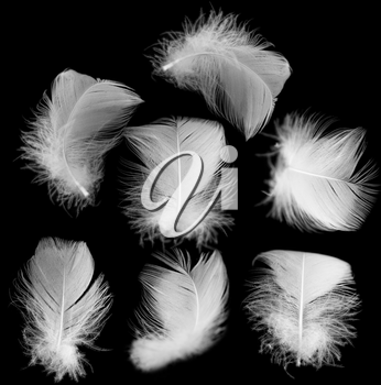 white feather of a bird on a black background