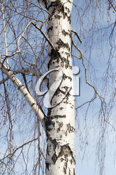 trunk of a birch against the blue sky