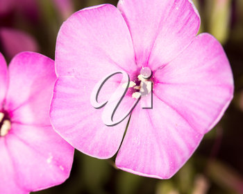 beautiful pink flower in nature, close-up